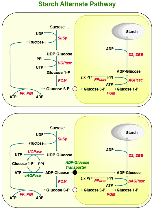 Regulation of Starch Biosynthesis